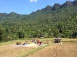 Producing rice