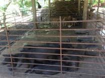 pig farm on the way